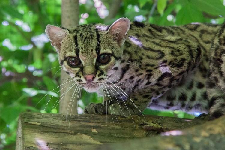 Кошки маргай очень редко дают потомство в зоопарках. Фото: новосибирский зоопарк/ В. Габов.