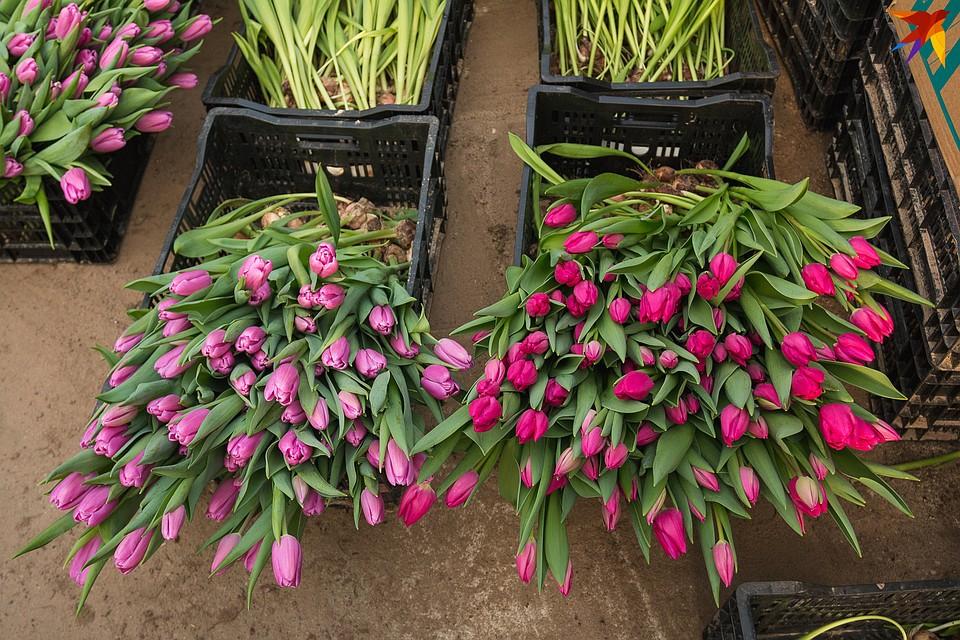 Сиреневые и фиолетовые тюльпаны сейчас самые популярные у белорусов. Фото: Надежда ПАВЛЮЧИК