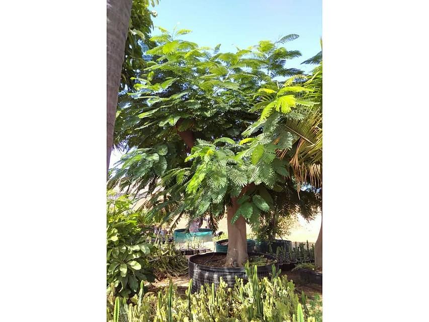 Фото этого самого растения в питомнике до того, как он попал в парк. Фото: instagram.com/officialparkkrasnodar