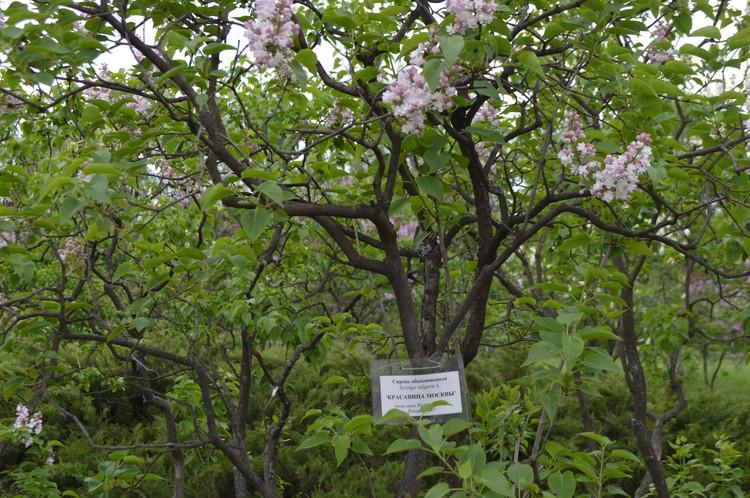 Сейчас одно из самых популярных мест в Донецке – сирингарий ботанического сада