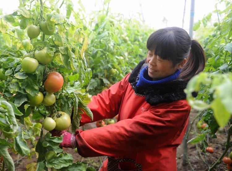 Выращивание помидоров в Китае.