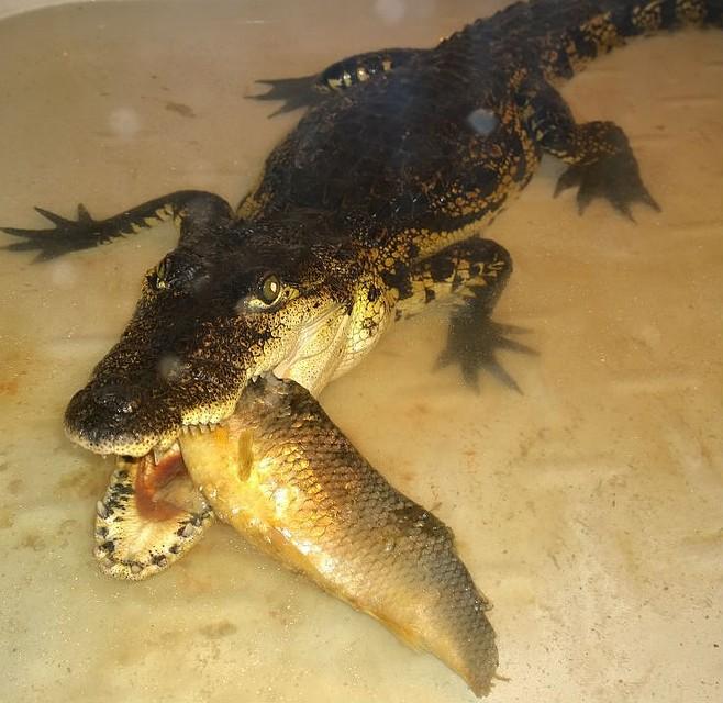 Центральноамериканский крокодил. Фото: иркутская зоогалерея