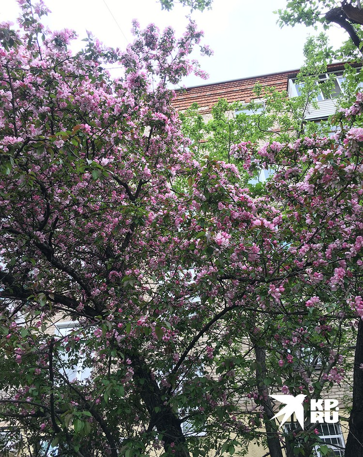 Весенняя Москва цветет и пахнет: яблони, вишни, сирень радуют глаз засидевшимся дома самоизолянтам.