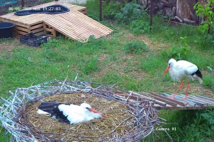 За жизнью аистят и их родителей можно наблюдать круглые сутки.
