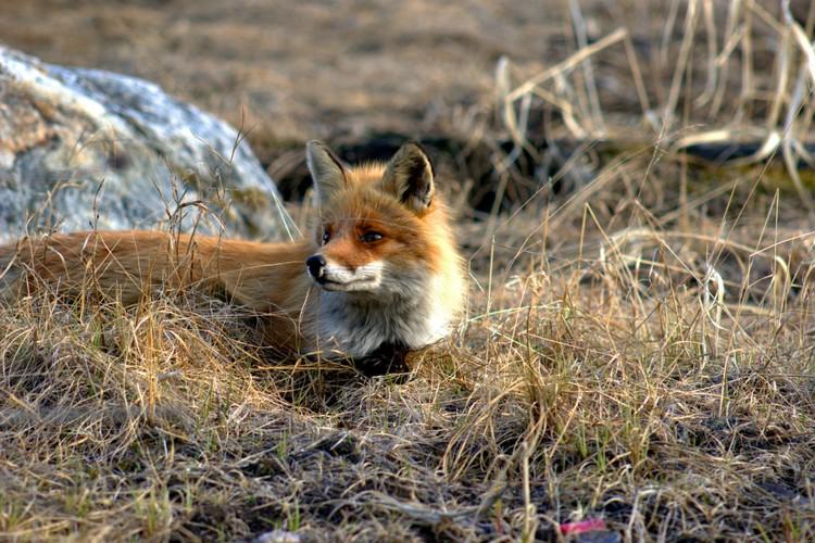 Лисица оправилась и вернулась к прежней жизни. Фото: Е.Колинько