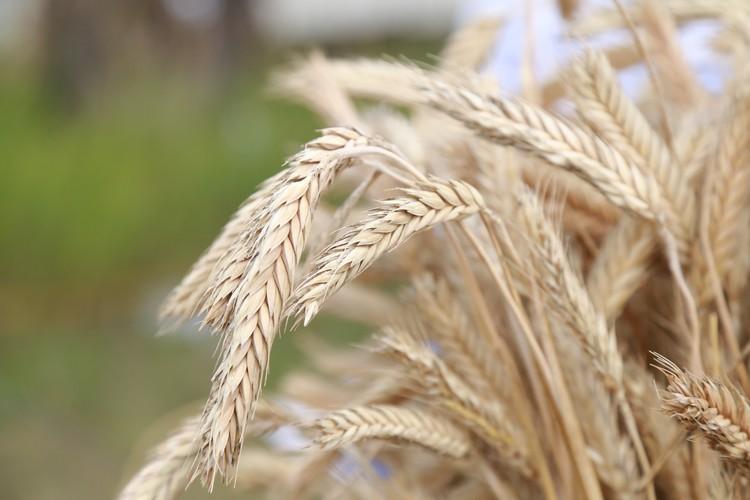 Сначала фермеры взялись за пшеницу.
