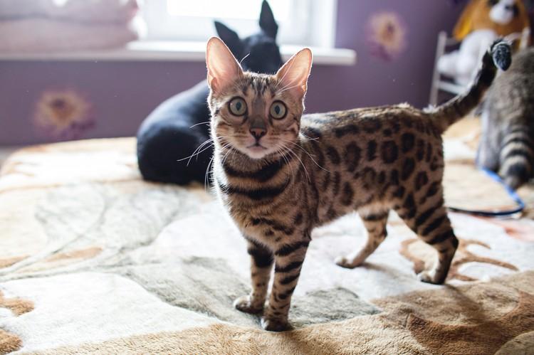 Бенгальская кошка Маргоша недавно стала мамой.