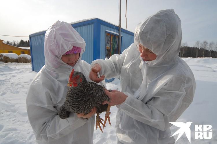 В 2005 году в России была вспышка птичьего гриппа.