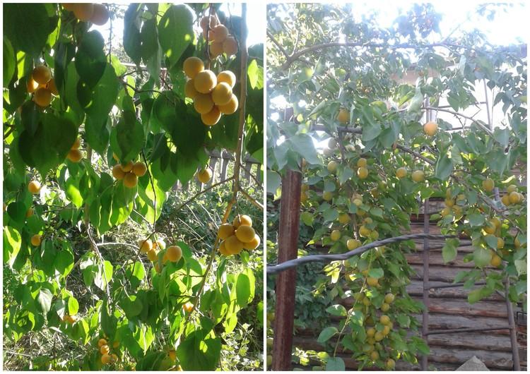 Абрикосовый аромат разливается по всему саду. Фото: Николай Сергеев