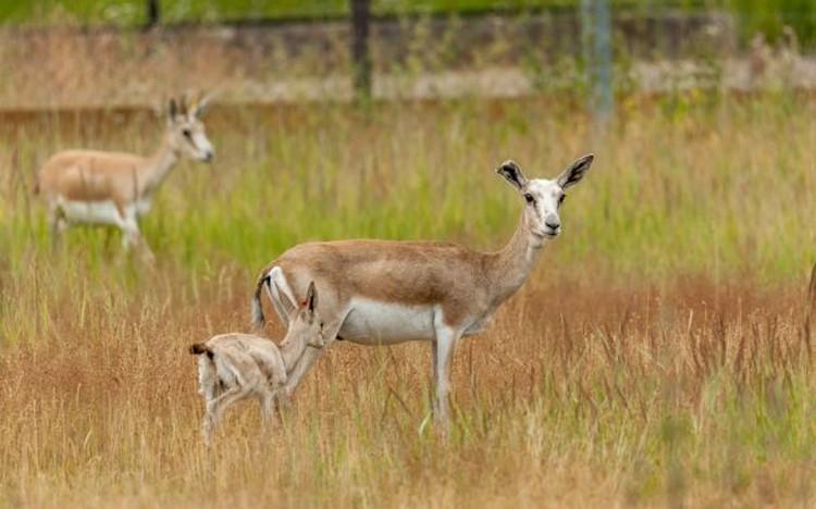 Четыре малыша джейрана (семейство газелей) - 3 самца и 1 самочкауже достаточно окрепли, исследуют вольер и даже бегают наперегонки. Фото: Московский зоопарк