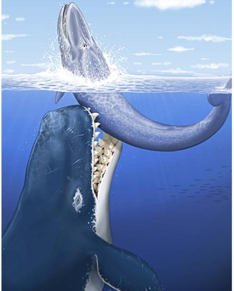 Древний кашалот питался кем хотел, но в основном китами. С мегалодонами старался не конфликтовать.