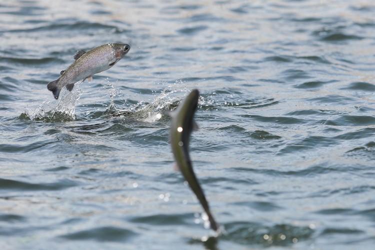 В Норвегии 90% рыбы выращивают на заводах, а таймырская рыба ценнее семги