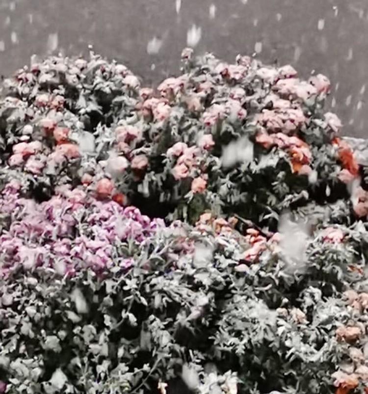 Под снегом оказались осенние цветы. Фото: предоставлено читателями КП