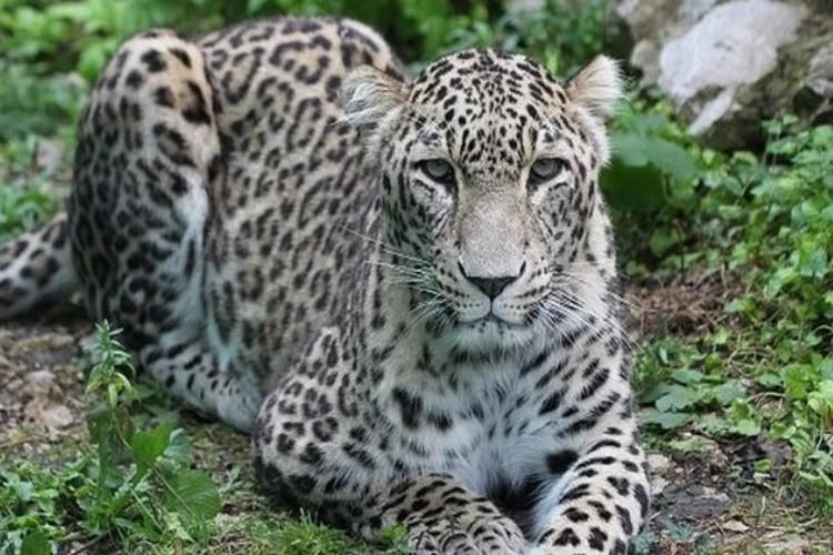 Эти кошки признаются настоящими гигантами среди других леопардов. Фото: Центр природы Кавказа. Автор: Семёнов У.А.