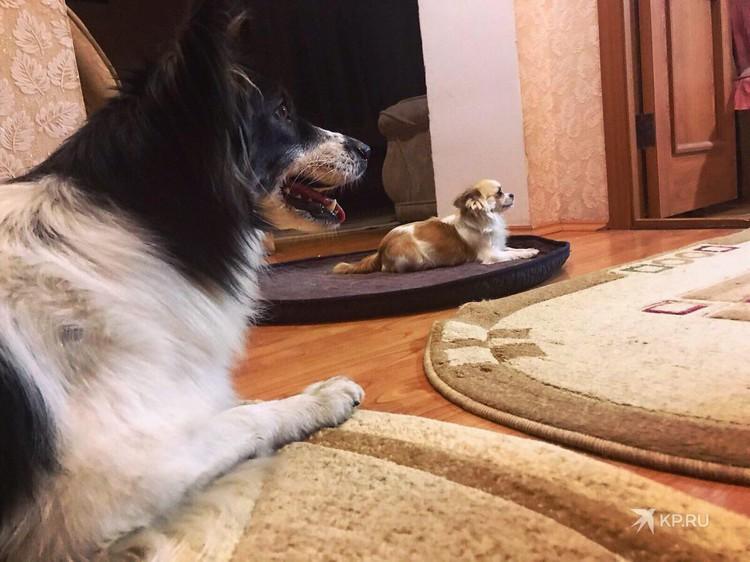 У Сальсы появились новые друзья - чихуахуа Тапочка и кот Бегемот. Фото: представлено героями публикации
