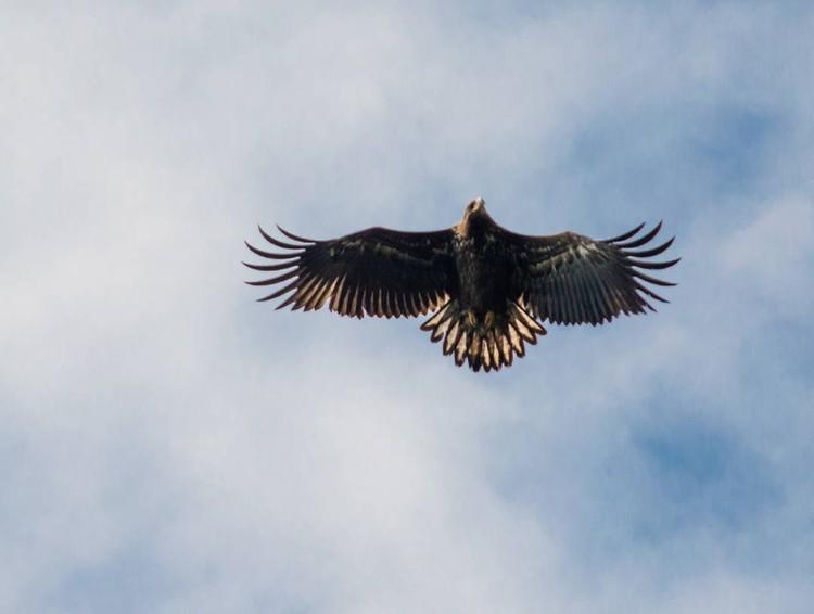 Орлан-белохвост - редкий вид хищных птиц, занесенный в Красную книгу Кировской области и России. Фото: Екатерина УРАЕВА