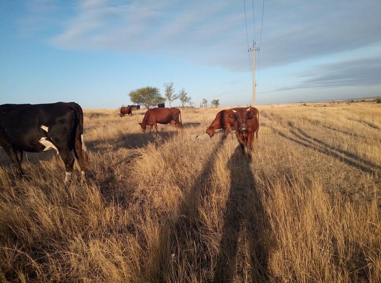 Корова семьи Исаевых на выпасе.