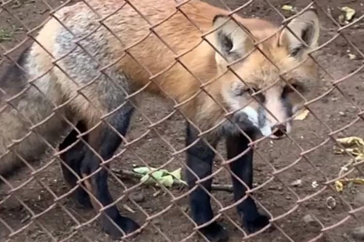 Лиса создаст пару с пермским лисом Южаком. Фото: скрин с видео пермского зоопарка.