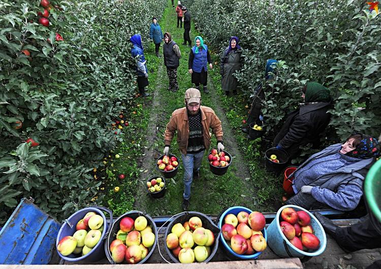 На яблоках ольшанцы работают после того, как закончат работу на собственных теплицах.