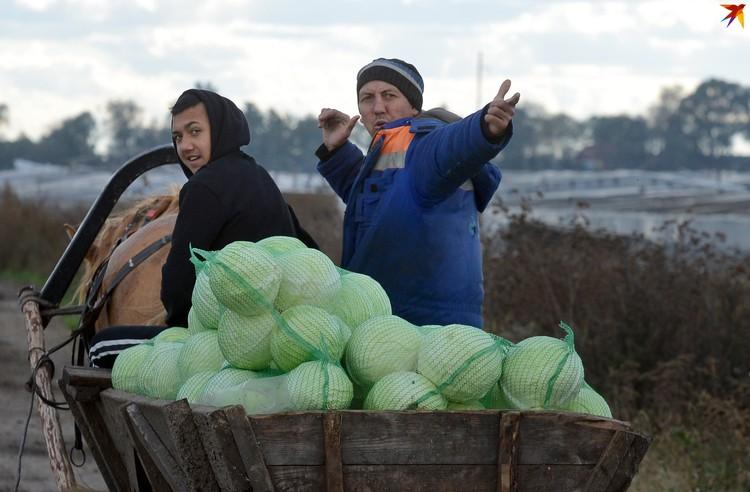 Капусту ольшанцы выращивают на собственных «сотках», а потом продают оптом.
