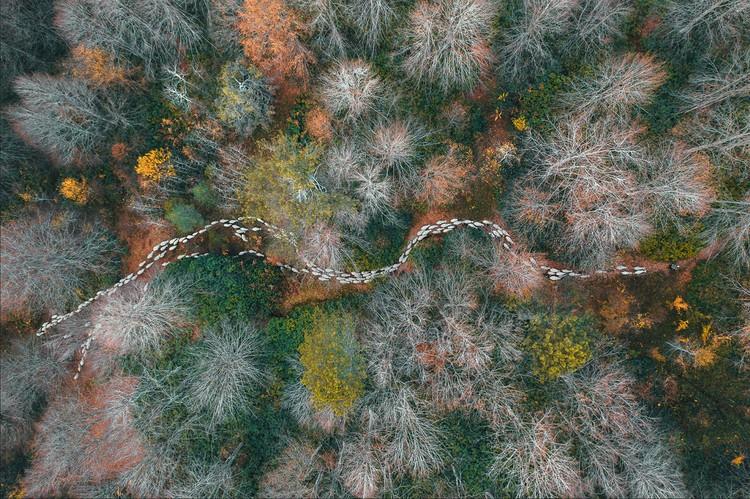 «Лесная тропа». Лучшее фото в разделе «Деревья и леса». Мехмет Аслан (Турция) заснял с квадрокоптера усталое овечье стадо, возвращающееся домой через осенний лес. Фото: © Mehmet Aslan/Aerial Photography Awards 2020