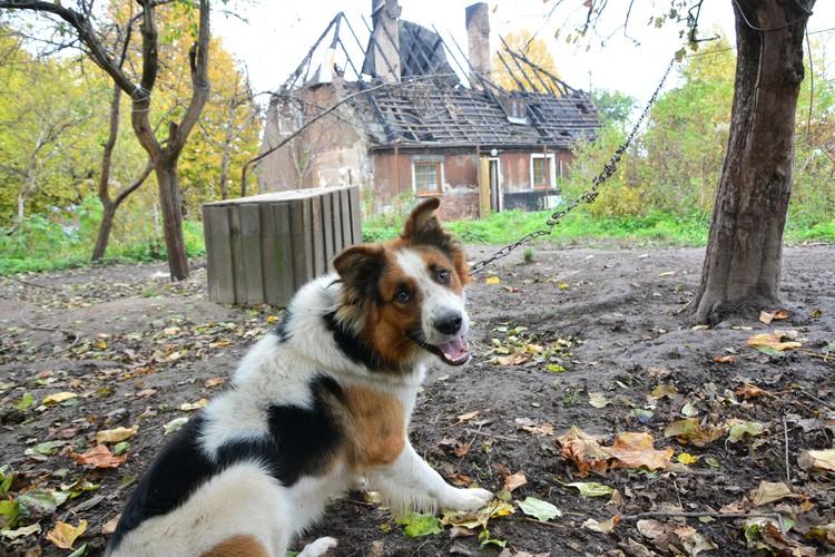 Дружелюбный пес пока остался без хозяев и продолжает сторожить двор.