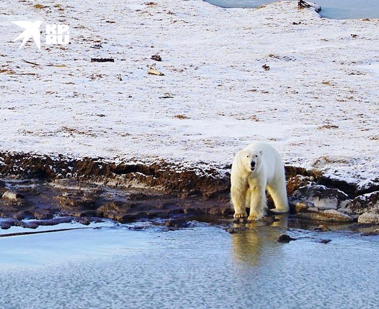 Хозяин Арктики. Фото Николая Николаева