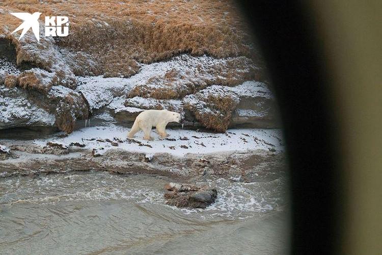Белый медведь бежит всегда открыто и не оглядывается. Фото Максима Рязанцева