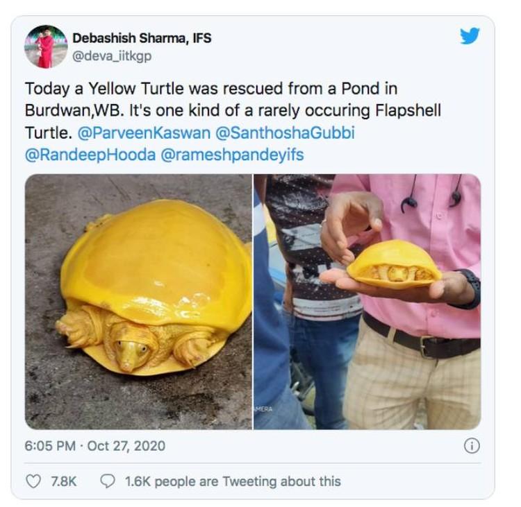 Сообщения о желтых черепахах стали появляться в соцсетях.