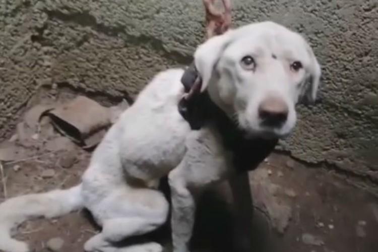 Бедный пес был настолько изможден, что ел снег, когда его вытащили.