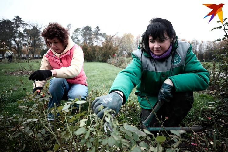 Журналист «Комсомолки» помогла куратору коллекции роз Центрального ботанического сада НАН Беларуси подготовить розарий к зиме.
