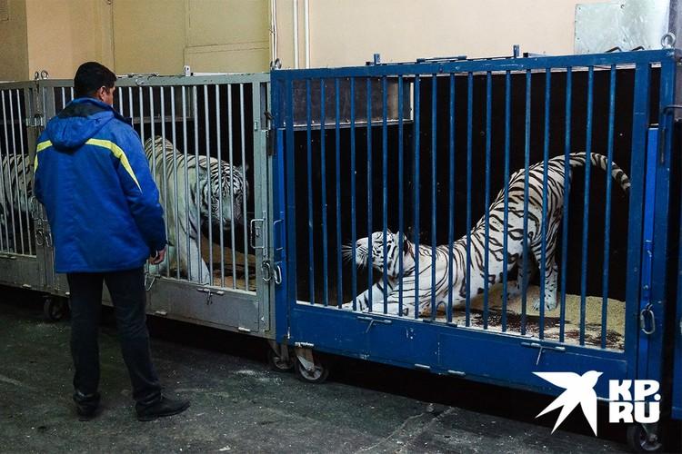 Доказано, что ковидом от людей могут заразиться и тигры со львами в зоопарках, и хорьки, и домашние кошки.