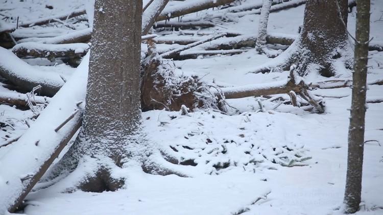 9 ноября маленькая медведица улеглась в спячку Фото: orphan-bear.org