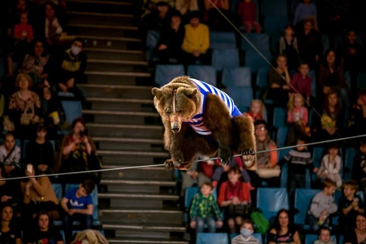 Росгосцирк представляет единственный в мире аттракцион «Медведи-канатоходцы». Фото: Росгосцирк.