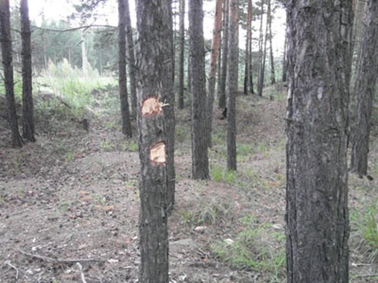 Следователям пришлось вытаскивать пули из свтолов деревьев. Отсюда и свежие отметины на коре.