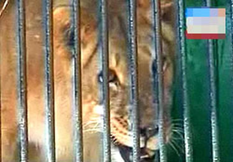 Мать львят - 6-летняя африканская львица Алена
