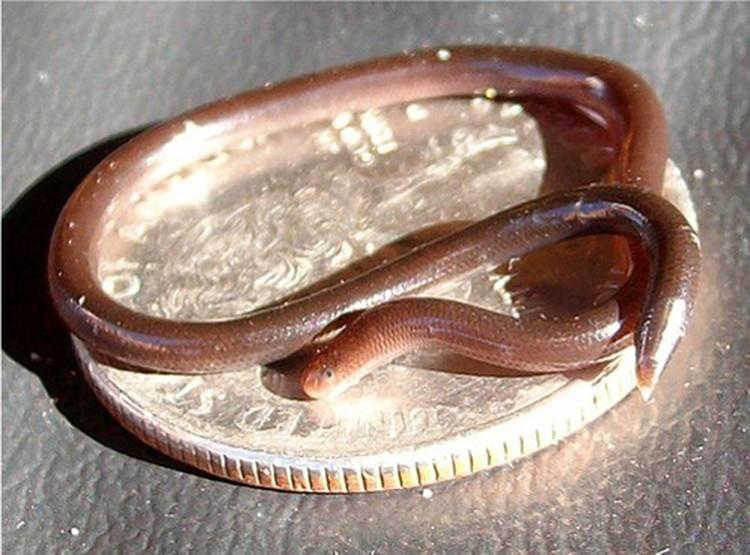 Это не червяк. Это самая мелкая в мире змея