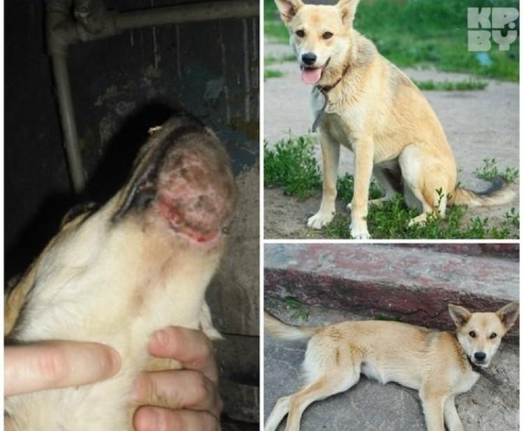 Собаке Лисе на нижнюю челюсть натянули капроновую крышку