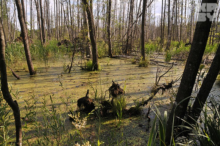 В налибокских болотах в войну прятались партизаны.