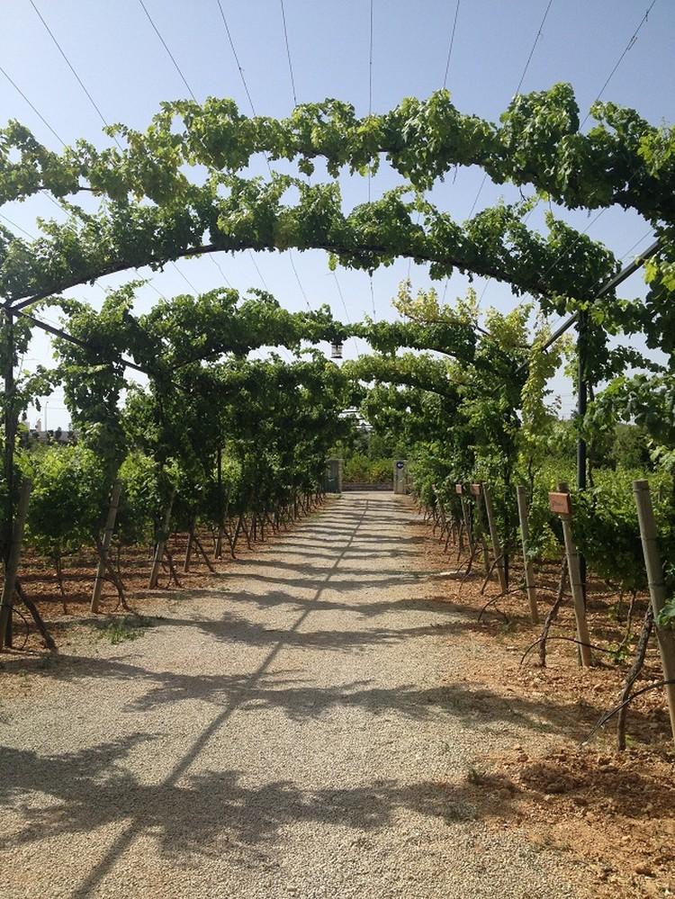 Виноградники и винодельни Майорки, может, и не так известны, как пляжи Балеар. Но посвятить им хотя бы день своего отпуска стоит.