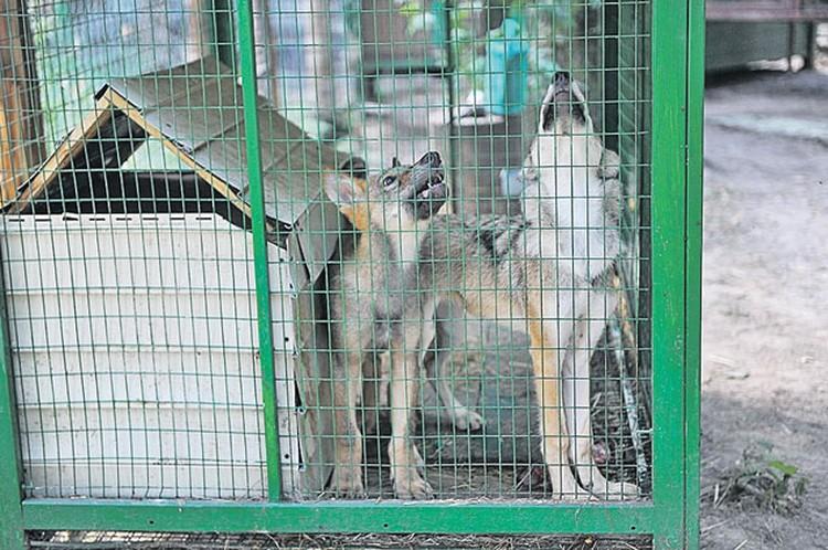Один  из этих волчат приехал в центр передержки животных прямо с Рублевки.