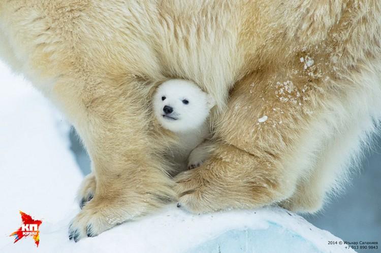 За тем, как растет маленькая медведица, следили буквально во всем мире. Смотрите фоторепортаж.