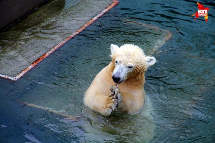 Видео о том, как мелкая медведица учится плавать, стало хитом в Интернете. Смотрите фоторепортаж.